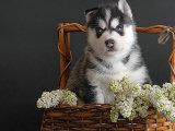 本地出售 哈士奇雪橇犬,三火蓝眼,疫苗全健康保证