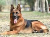 黃南自家犬舍專業繁殖純種柴犬 疫苗驅蟲已做齊可送貨上門
