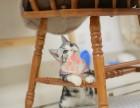 重庆哪里卖布偶猫 布偶猫价格 布偶猫哪里有卖