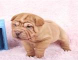 品质高品质沙皮狗幼犬 血统纯正 体型完美 健康纯种