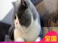 哪里有短毛猫出售家养纯种短毛猫健康三包品质好血统可查