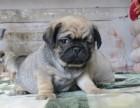 南京哪里有纯种八哥犬 南京鹰版八哥多少钱 哪里卖便宜八哥出售