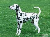 斑点狗出售哪里有斑点狗出售 斑点狗价格 斑点狗照片