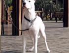 杜高犬多少钱一只 杜高犬价格 杜高犬图片