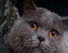 出售英国短毛猫、英短蓝猫、银渐层、金渐层