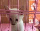 自家繁殖暹罗猫咪找新家价格面议