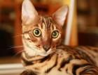 红金系孟加拉豹猫种公借配京信猫舍