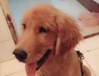 特别可爱的金毛狗狗