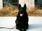 高品质东德工作犬