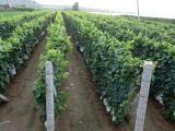 葡萄苗找一边倒果树苗木_品种优良——一边倒葡萄苗繁育基地