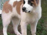 纯种马犬多少钱一只 5个月马犬多少钱一只