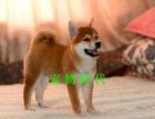 日本柴犬出售高品质柴犬幼犬可签订购犬合同