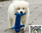 哪里有卖萨摩耶幼犬 萨摩耶价格 萨摩耶图片