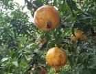 苏州西山玉兴农家包吃包住包接送采摘橘子石榴品尝大闸蟹