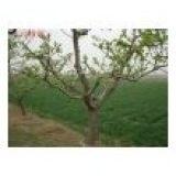 供6-7-8-9-10公分占地山楂树