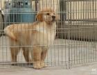 诚信交易 纯种金毛犬 健康终身保障 签协议送狗用品