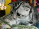 纯种高品质英短银渐层 折耳猫猫咪出售 自家专业繁育