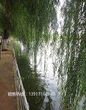 上海垂柳苗圃基地,垂柳种植基地,虹硕苗圃供应