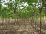 全国便宜出售50公分国槐树