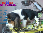 宠物店和狗市里的巴吉度可以买吗 健康的多少钱一只