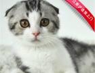精品折耳猫蓝白折耳银渐层颜色公母都有江浙沪上门