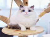 杭州本地貓舍 英短藍貓藍白漸層布偶橘貓加菲貓 上門買包3個月