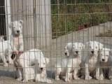 哪里有卖杜高犬的