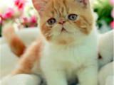 浙江丽水包子脸大眼睛加菲猫到手价格