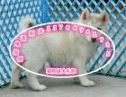 纯种三火蓝眼哈士奇犬出售 健康保障 颜色齐全签协议