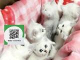 柳州哪里开猫舍卖蓝猫 去哪里可以买得到纯种蓝猫