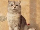 家庭猫舍英国短毛猫 蓝猫/银渐层苏格兰折耳猫宠物猫