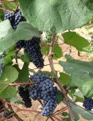 出售吉林占地苗 长春枸杞苗 哪有卖四平大葡萄树的