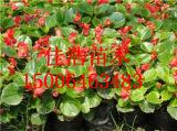 优质的四季海棠提供商当属佳浩瓜果苗木-北美海棠种植基地