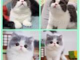廣州本地可以上門挑選美短英短布偶緬因豹貓