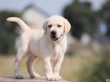 纯种导盲犬拉布拉多,温顺听话忠诚的伙伴,健康保证