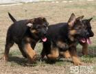 纯种的德牧幼犬出售,自家繁殖的,非常健康,有优惠