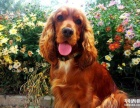 可卡犬 可卡犬繁殖狗舍 打完疫苗带证书芯片签购犬协议