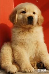重庆哪里能买到健康黄金猎犬重庆纯种金毛较便宜多少钱