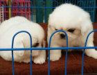 出售纯种京巴幼犬 诚信+实体店上门看狗 欢迎选购