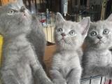 可爱的小蓝猫,找新家