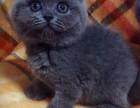 出售蓝猫 渐层 加菲无病无癣 签协议
