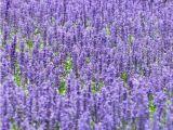 鼠尾草种植基地为您推荐优质鼠尾草