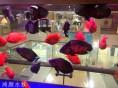 无锡高品质观赏鱼金龙鱼发财鱼银龙鱼等