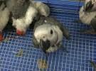 出售人工繁殖灰鹦鹉 金刚鹦鹉 葵花鹦鹉 折衷鹦鹉 亚马逊鹦鹉