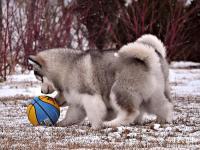 成都本地大骨架品相佳大毛量阿拉斯加 憨厚老实雪橇犬阿拉斯加
