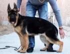 纯种德国牧羊犬小狗 健康德国牧羊犬出售