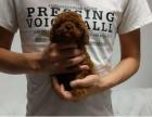韩国超小体茶杯贵宾狗 玩具体贵宾终身质保 签订协议