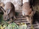 比利时野兔自家养殖