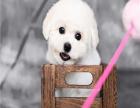 出售精品比熊幼犬签协议保健康送疫苗证健康证