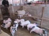哪里有巴马香猪幼崽 藏香猪